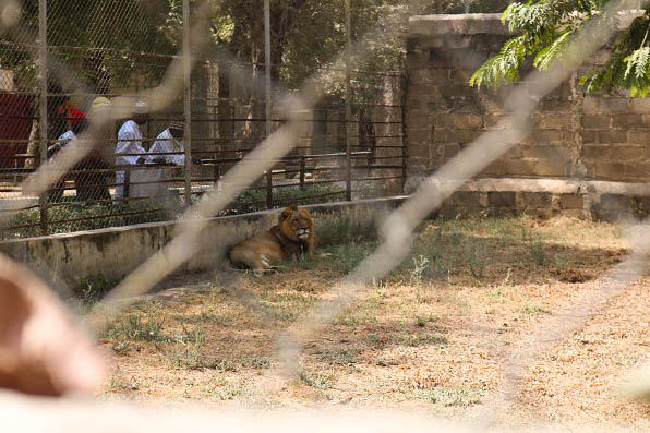 Lion inside Kano Zoo